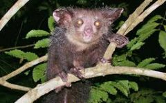Do You Know What an Aye-Aye Is?