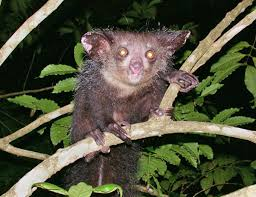 The aye-aye is considered an omen of bad luck, so they are often hunted and are now an endangered species.