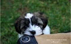 You Should Have a Havanese!