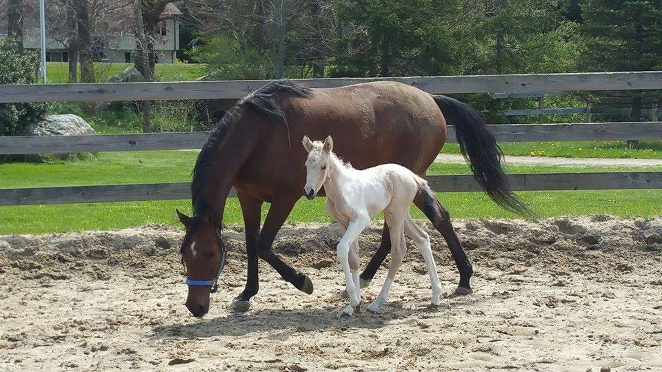 A picture of the newborn foal, Gardenia, with her mother, Rosie. (photo taken by Darcy of Bramble Hill Farm, Pomfret Ctr., CT)