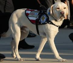 Former President Bush's service dog, Sully, who accompanied him during the last several months of his life.